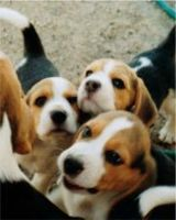 Puppies on All About Beagles