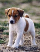 Jack Russell Puppies on Jack Russell Terriers  Jack Russell Puppies  Jack Russel Terrier  Jack