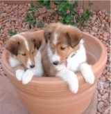 sheltie puppies