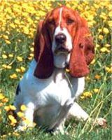 Basset hounds